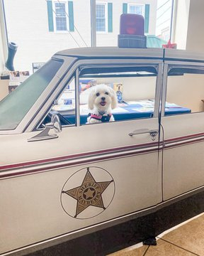 Sugar Pie is enjoying her visit to Mayberry! She posing with the Squad Car in the visitor center 😍 We love it when our furry visitors come in to say hello!